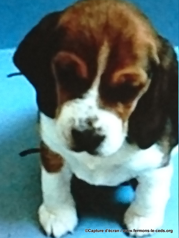 COBAY ANIMALS: raising and selling dogs for laboratory use